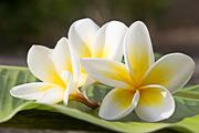 Цветы (flowers) MENSDC_t