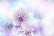 Цветы (flowers) MENSDP_t